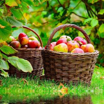 мичуринские яблочки